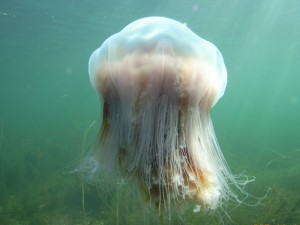 Lions mane jellyfish (Cyanea capillata) are common around Long Island especially in the summer months